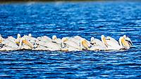 American White Pelican (Pelecanus erythrorhynchos). Black Point Wildlife Drive. Merritt Island National Wildlife Refuge. Image taken with a Nikon D3s camera and 600 mm f/4 VR lens.
