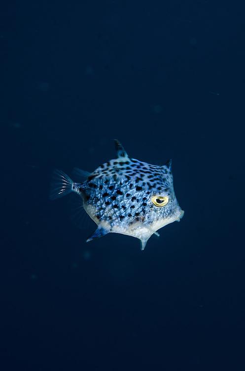 Highcrest Boxfish, Kentrocapros eco
