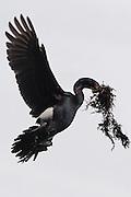 A Pelagic Cormorant (Phalacrocorax pelagicus), also known as Baird's cormorant, collects materials for its nest near Anacortes, Washington.