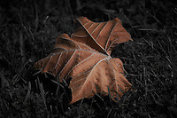 Sycamore Leaf in the Backyard. Image taken with a Nikon D4 and 70-200 mm f/2.8 VRII lens (ISO 100, 195 mm, f/2.8, 1/4000 sec). Processed with Capture One Pro 6.