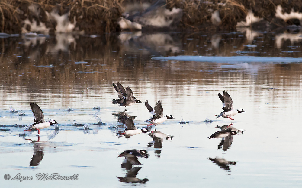 With the colors of setting sun and ice in the water and bank, this flock of Bufflehead took off for their night roost.  Love the reflections and pink feet.  Bombay Hook NWR
