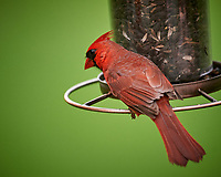 Northern Cardinal. Image taken with a Nikon D4 camera and 600 mm f/4 VR lens