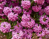 Clusters of Rhododendron flowers. Backyard spring nature in New Jersey. Image taken with a Leica T camera and 18-56 mm lens (ISO 100, 26 mm, f/4.2, 1/250 sec).
