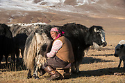 Milking yaks (Bos grunniens)<br /> Altai Mountains<br /> Bayan Olgii Province<br /> Western Mongolia