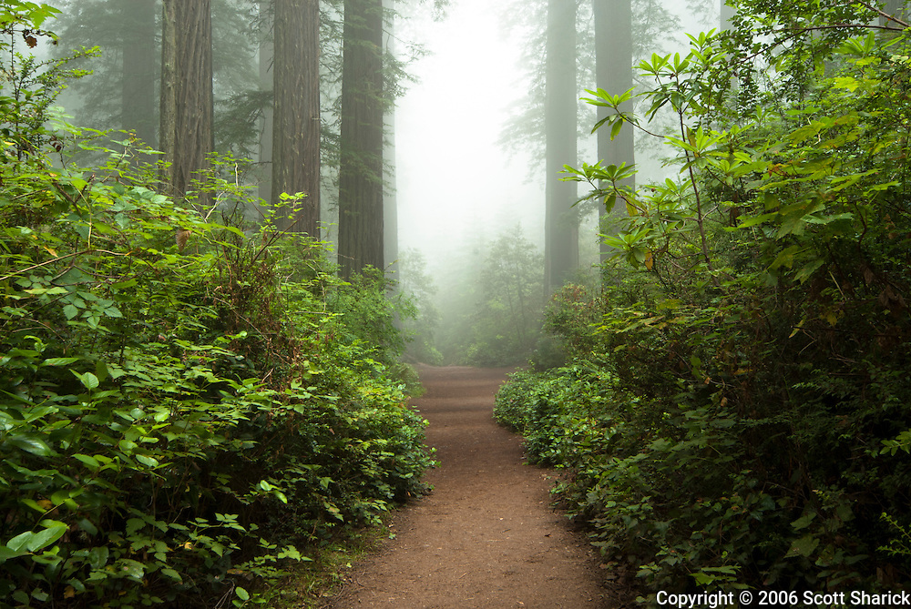 A dirt path takes you through the Redwood Forest in northern California.
