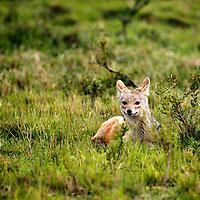 Africa, Kenya, Maasai Mara. Bat-Eared Fox.