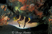 black saddled puffer or black-saddled toby, Canthigaster valentini, is poisonous and is mimicked by the filefish Paraluteres prionurus, Bali, Indonesia