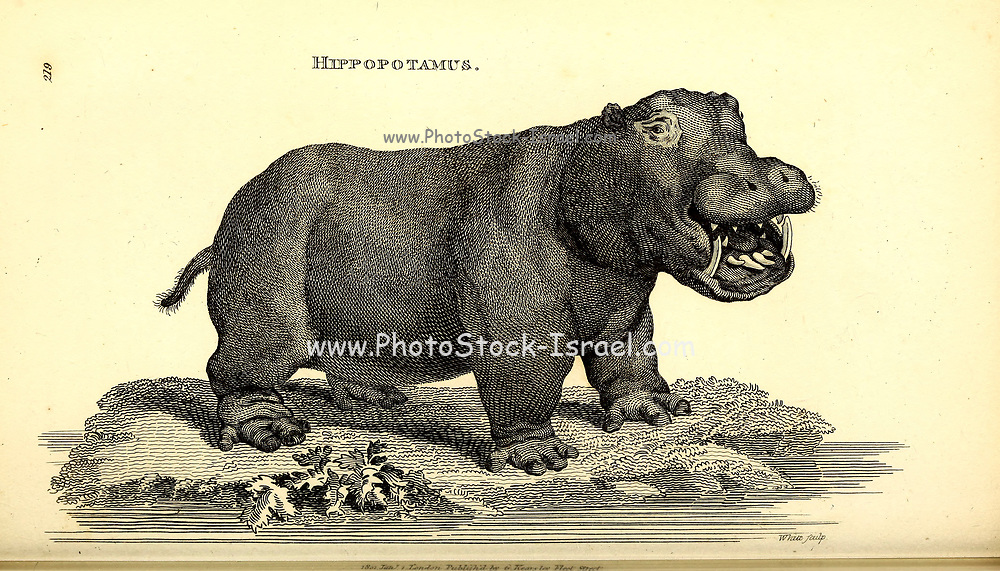Hippopotamus from General zoology, or, Systematic natural history Vol II Part 2 Mammalia, by Shaw, George, 1751-1813; Stephens, James Francis, 1792-1853; Heath, Charles, 1785-1848, engraver; Griffith, Mrs., engraver; Chappelow. Copperplate Printed in London in 1801 by G. Kearsley