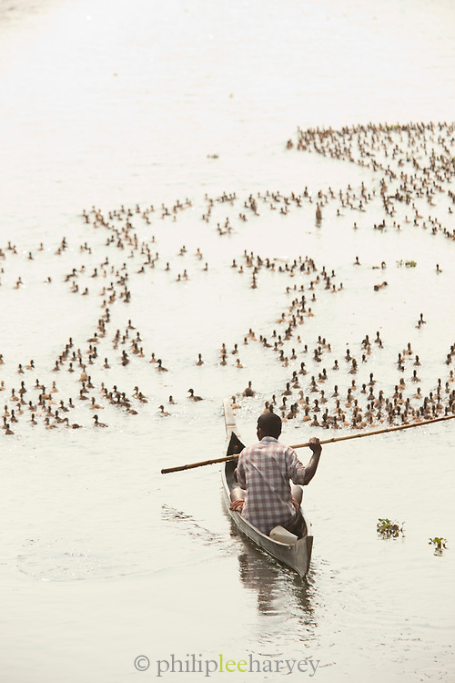 A duck farmer directs ducklings from his canoe, near Alappuzha in the Kerala Backwaters, India