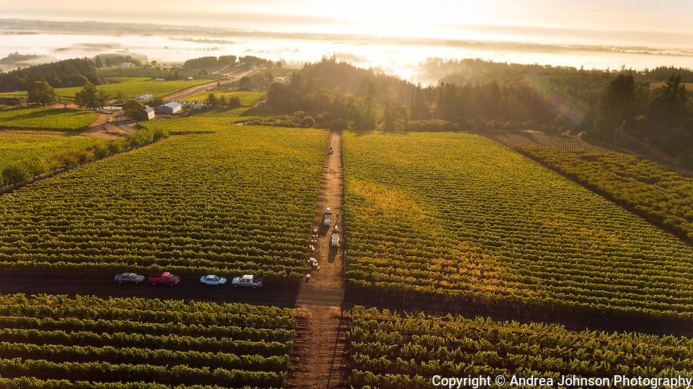Pinot Noir harveset at Brooks Estate vineyard, Eola-Amity Hills AVA, Willamette Valley, Oregon
