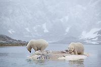 Polar bears (Ursus maritimus) feeding on dead whale, Svalbard, Norway