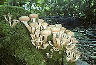Honey Fungus - Armillaria mellea