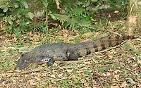 Spectacled Caiman, Caiman crocodilus, beside a pond at La Quinta Sarapiqui Lodge, Sarapiquí, Costa Rica
