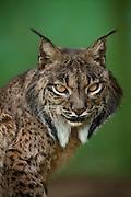 Iberian lynx,<br /> Captive,<br /> Spain