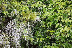 Wisteria floribunda 'Kuchi-beni' and Holboellia coriacea (Sausage vine) growing over a wall