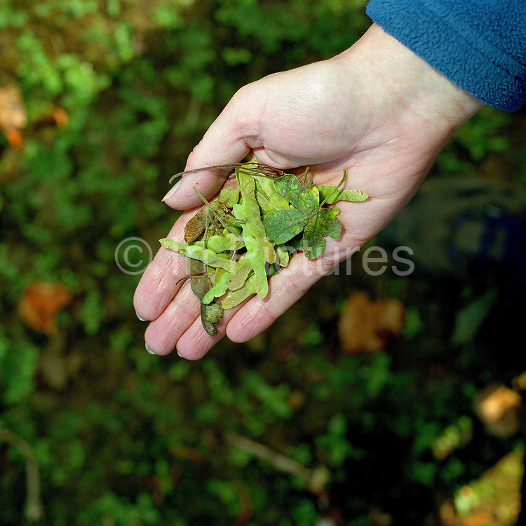 A hand of a conservation volunteer holding sycamore seeds gathered from the hedgerows around the Castle Howard Estate in North Yorkshire, UK. They will be planted and grown on at the Estate's arboretum and eventually planted out to make more beech trees and hedges in the Howardian Hills. Castle Howard Estate is in the Howardian Hills AONB, a landscape with well-wooded rolling countryside, patchwork of arable and pasture fields, scenic villages and historic country houses with classic parkland landscapes.