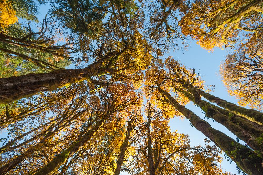 Bigleaf maple trees (Acer macrophyllum) October, Elwha River watershed, Olympic National Park, Washington, USA