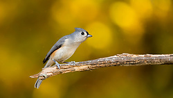 A Tufted Titmouse Perched On A Tree Branch With Warm Afternoon Light