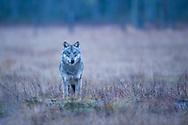 Eurasian wolf male, Canis lupus, Kuhmo, Finland.