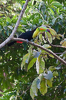 A bright colored Toucan prepares to fly in the Cockscomb preserve of southern Belize