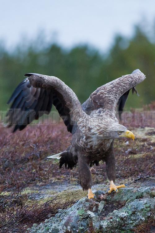 Havørn står på bakken og flakser med vingene | White-tailed Eagle standing on the ground flapping with the wings.