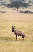 Topi, Damaliscus lunatus jimela, in Serengeti National Park, Tanzania