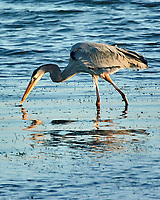 Great Blue Heron (Ardea herodias). Image taken with a Nikon 1 V3 camera and 70-300 mm VR lens.
