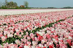Pink Tulip, Tulipa, roze tulp, tulpen, Holland, Netherlands