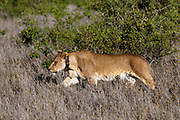 Lioness wearing tracking collar. Living with Lions GPS monitoring Program, Loisaba Wilderness Conservancy, Laikipia, Kenya.