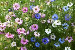 Nigella damascena 'Colour Mix'