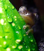 A tiny reed frog (Afrixalus fornasinii) peeking it's head out from behind a leaf in its tropical environment. Also known as the Greater Leaf-Folding Frog, this frog inhabits South East Africa.