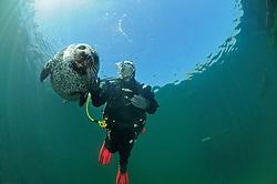 Common Seal, Phoca vitulina vitulina, and scuba diver, Rostock, Warnemuende, Germany, Baltic Sea, MR, PR
