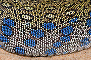 Close-up abstract of the body pattern and texture of an Ocellated or European eyed lizard (Lacerta lepida) at Animal Investigations Long Sutton Lincolnshire