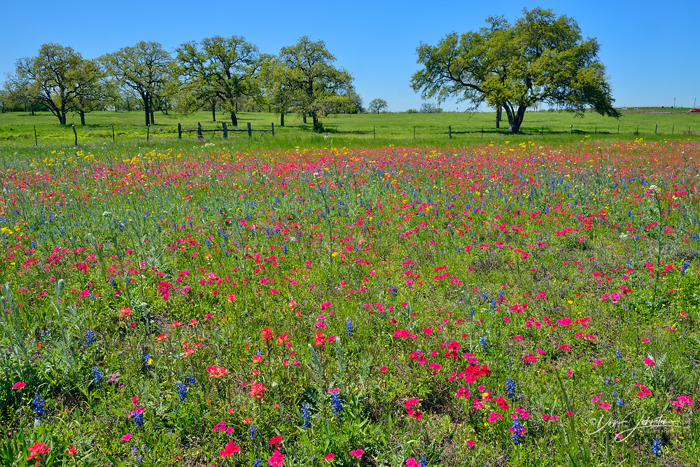 Roadside wildflowers featuring phlox and bluebonnets with oak trees, Seguin, Texas, USA