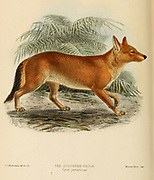 """The Ussuri dhole (Cuon alpinus alpinus [Cyon javanicus]), also known as the Indian dhole, Eastern Asiatic dhole, Chinese dhole or Southern dhole, From the Book Dogs, Jackals, Wolves and Foxes A Monograph of The Canidae [from Latin, canis, """"dog"""") is a biological family of dog-like carnivorans. A member of this family is called a canid] By George Mivart, F.R.S. with woodcuts and 45 coloured plates drawn from nature by J. G. Keulemans and Hand-Coloured. Published by R. H. Porter, London, 1890"""