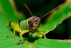Gruene Heuschrecke, Kurzfühlerheuschrecke (Orthoptera - Order, Caelifera - Suborder) Costa Rica, Carara Nationalpark / Green Grasshopper (Orthoptera - Order, Caelifera - Suborder) , Costa Rica, Carara National Park