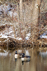 Canadian Goose (Branta canadensis) swim in the icy cold water of the lake in Heyworth Centennial Park