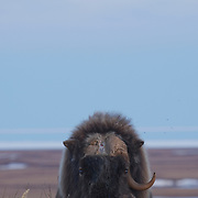 A large very old, solitary muskox (Ovibos moschatus) bull with one horn pauses on the tundra with a rising moon. Alaska