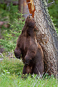 Cinnamon phase black bear in the Greater Yellowstone Ecosystem