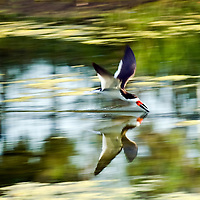 Water bird called a Black Skimmer works for food; flying across the surface with the lower mandible in the water.