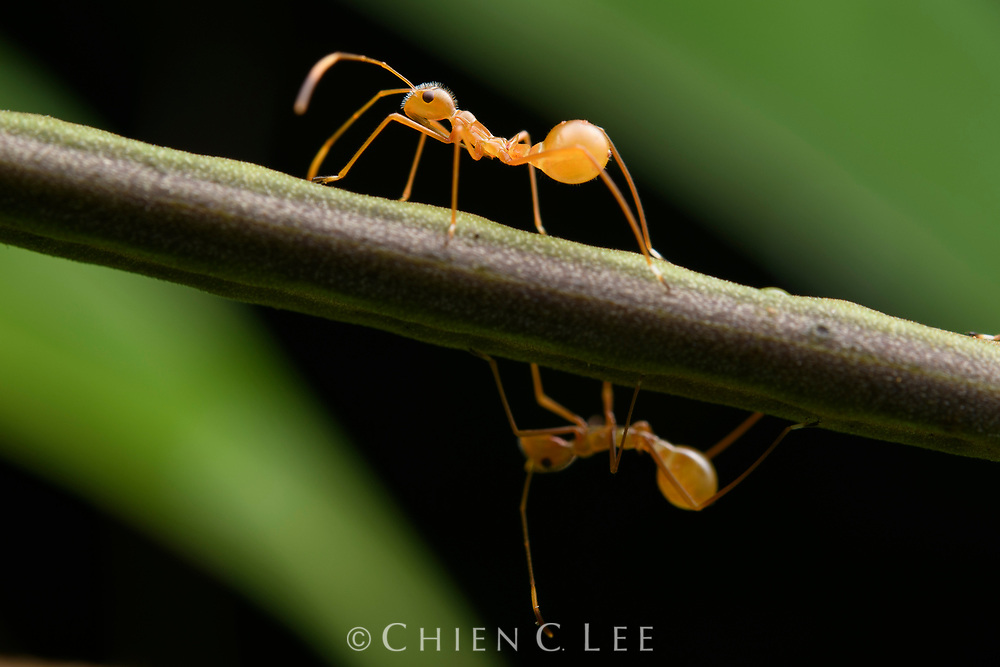 Broad-headed bugs (Riptortus sp.), juveniles showing mimicry of Oecophylla weaver ants. West Papua, Indonesia (New Guinea).
