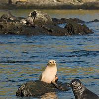 An albino Southern Fur Seal sits on a rock in Godhul Bay, South Georgia, Antarctica.