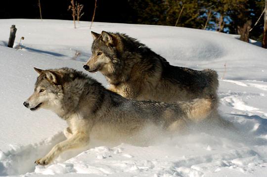 Gray Wolf (Canis lupus) Running through snow. Montana. Winter.  Captive Animal.