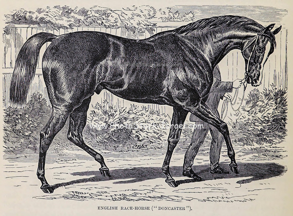 English race horse Doncaster. Doncaster (1870 – January 1892) was an English Thoroughbred racehorse and sire. He was the winner of the 1873 Epsom Derby and the sire of the great stallion Bend Or. Through Bend Or he is the direct male-line ancestor of most modern thoroughbreds. From the book ' Royal Natural History ' Volume 2 Edited by Richard Lydekker, Published in London by Frederick Warne & Co in 1893-1894