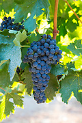 Tempranillo grapes, ribera del Duero wine production in Valbuena de Duero, Valladolid,  Spain
