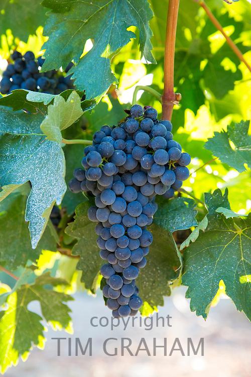 Tempranillo grapes, ribera del Duero wine production in Valbuena de Duero, Valladolid,  Spain