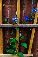 Blue clematis flowers on trellis in Whitefish, Montana, USA