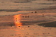 USA, Newport, RI - Piping Plovers search for food on Sachuest beach while avoiding incoming sea foam.
