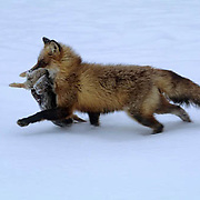 Red Fox, (Vulpus fulva) Adult with hunted cottontail in mouth. Captive Animal.