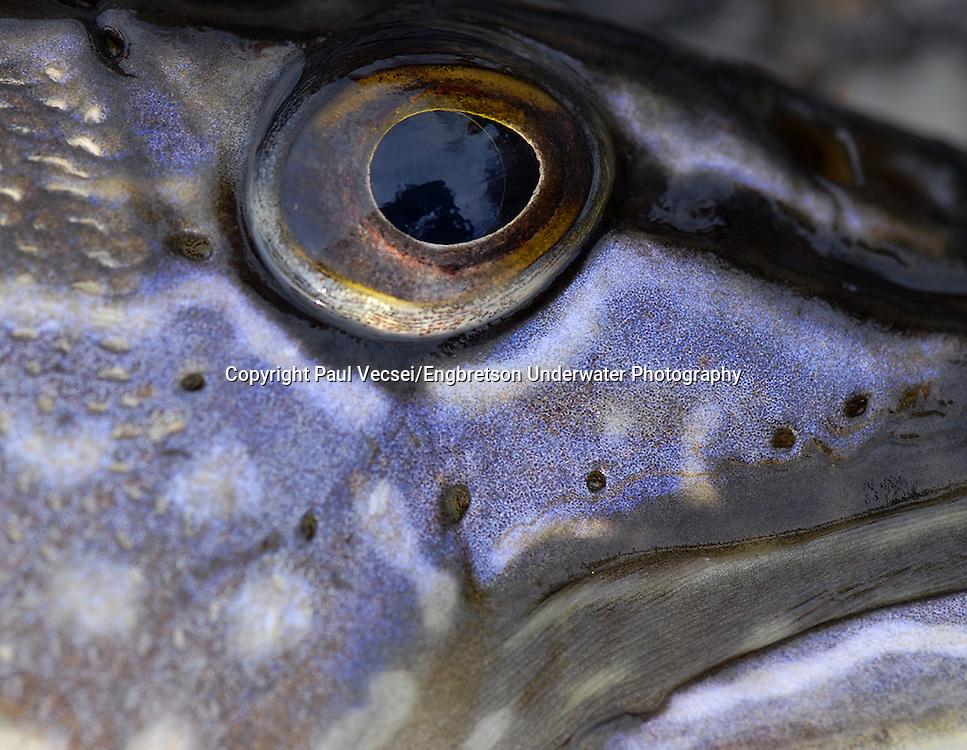 Northern Pike Eyeball<br /> <br /> Paul Vecsei/Engbretson Underwater Photography